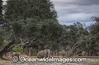 African Elephant bachelor herd photo