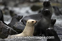 Leucistic Antarctic Fur Seal photo