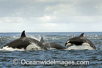 Orca hunting Dolphin Photo - Chris and Monique Fallows