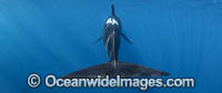 Short-finned Pilot Whale Photo - Chris and Monique Fallows
