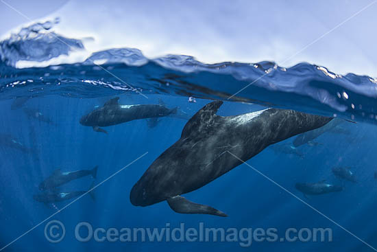 Short-finned Pilot Whale (Globicephala macrorhynchus). Photo taken off Cape Point, South Africa.