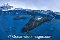 Short-finned Pilot Whale South Africa Photo - Chris and Monique Fallows