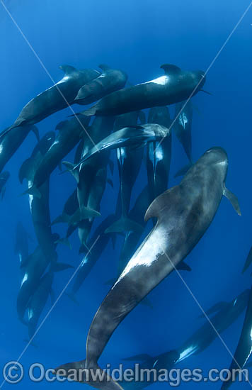 Short-finned Pilot Whale South Africa photo