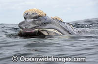 Southern Right Whale feeding Photo - Chris and Monique Fallows