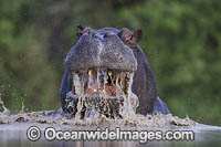 Hippopotamus Botswana photo