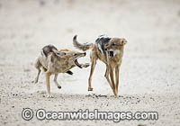 Jackal fighting at water hole image