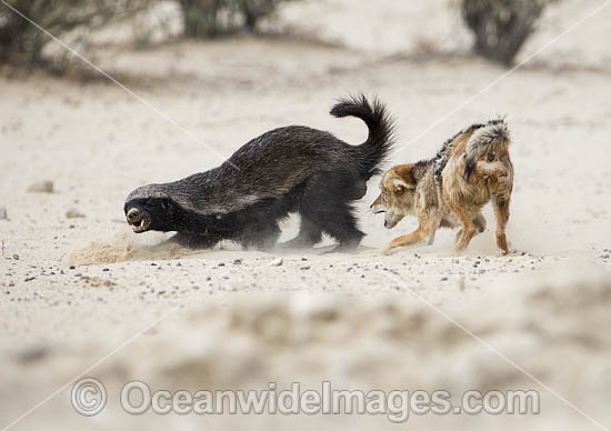 Black-backed Jackal (Canis mesomelas) attacking a Honey Badger (Mellivora capensis). Kagalagadi National Park, South Africa. Photo - Chris and Monique Fallows