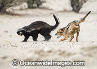 Jackal attacking Badger photo