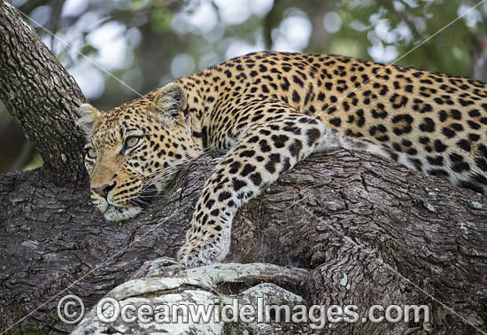 African Leopard (Panthera pardus). Okavango Delta, Botswana. Photo - Chris and Monique Fallows