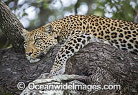African Leopard Panthera pardus pardus Photo - Chris and Monique Fallows