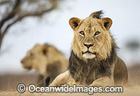 Lion South Africa photo