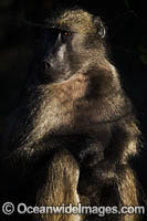 Chacma Baboon Photo - Chris and Monique Fallows