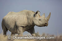 Black Rhinoceros Photo - Chris and Monique Fallows