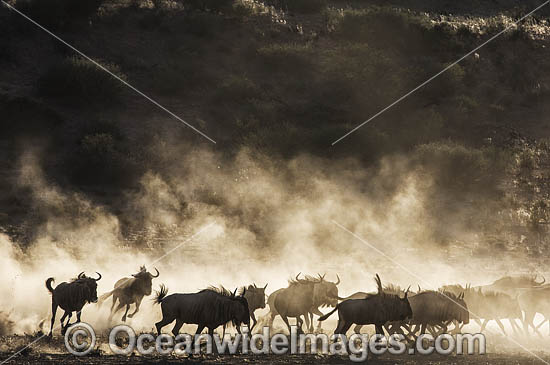 Wildebeest (Connochaetes taurinus). Kagalagadi National Park, South Africa. Photo - Chris and Monique Fallows
