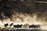 Wildebeest Photo - Chris and Monique Fallows