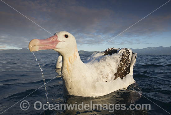 Wandering Albatross (Diomedea exulans). Kaikoura, New Zealand. Photo - Chris and Monique Fallows