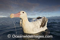 Wandering Albatross Photo - Chris and Monique Fallows