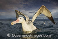 Wandering Albatross New Zealand photo
