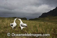 Wandering Albatross mating pair Photo - Chris and Monique Fallows