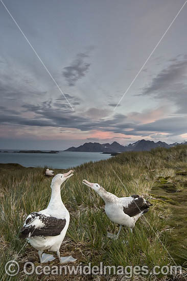 Wandering Albatross (Diomedea exulans), mating courtship display. South Georgia. Photo - Chris and Monique Fallows