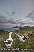 Wandering Albatross mating courtship display Photo - Chris and Monique Fallows