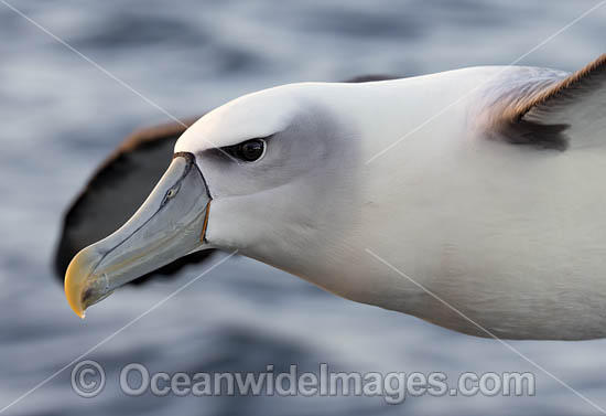 White Capped Albatross (Thalassarche steadi). Photo taken at Kaikoura, New Zealand. Photo - Chris and Monique Fallows