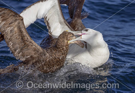 White Capped Albatross (Thalassarche steadi), squabbling with a Northern Giant Petrel (Macronectes halli). Photo taken at Kaikoura, New Zealand. Photo - Chris and Monique Fallows