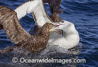 White Capped Albatross Photo - Chris and Monique Fallows