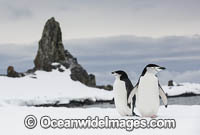 Chinstrap Penguins Photo - Chris and Monique Fallows