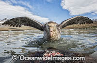 Giant Petrel feeding on seal carcass photo