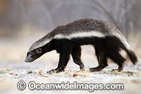 Honey Badger Namibia photo