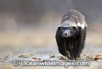 Honey Badger photo