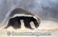 Honey Badger Mellivora capensis photo