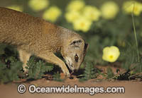 Yellow Mongoose image