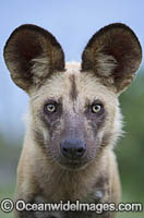 Wild Dog Botswana photo