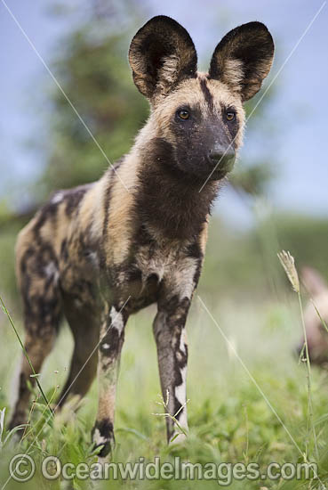 Wild Dog (Lycaon pictus). Okavango Delta, Botswana. Photo - Chris and Monique Fallows