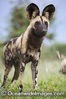 Wild Dog Botswana Photo - Chris and Monique Fallows