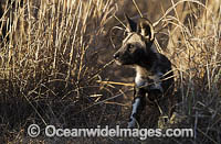 Wild Dog pup Photo - Chris and Monique Fallows