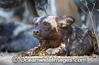 Wild Dog Zimbabwe Photo - Chris and Monique Fallows