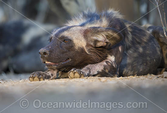 Wild Dog (Lycaon pictus). Mana Pools National Park, Zimbabwe. Photo - Chris and Monique Fallows