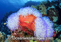 Bleached Anemone Great Barrier Reef photo