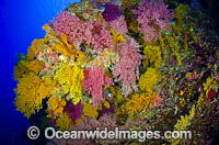 Soft Corals Great Barrier Reef Photo - Bob Halstead