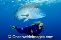 Scuba Diver with Napolean Wrasse Photo - Bob Halstead