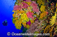 Scuba Diver and Soft Corals Photo - Bob Halstead
