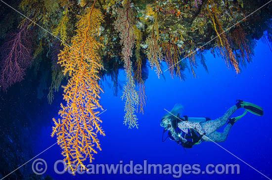 Scuba Diver exploring a coral overhang covered in colourful soft corals. Osprey Reef, Great Barrier Reef, Queensland, Australia. Photo - Bob Halstead