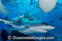 Gray Reef Shark Great Barrier Reef photo