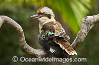 Laughing Kookaburra Photo - Gary Bell