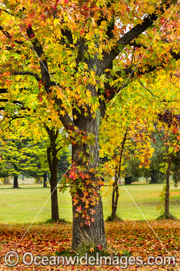 Autumn colours of deciduous trees photographed in the cily of Armidale, New England Tableland, New South Wales, Australia. Photo - Gary Bell
