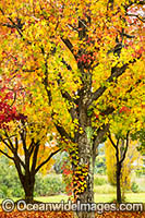 Autumn colours of deciduous trees Photo - Gary Bell
