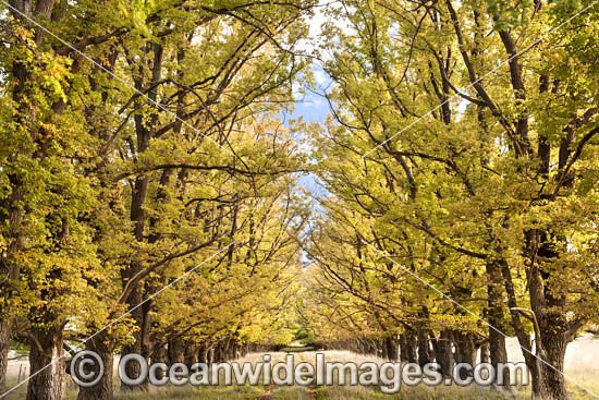 Country track lined with deciduous trees in Autumn, photographed Armidale, New England Tableland, New South Wales, Australia. Photo - Gary Bell
